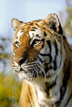 tigersandcompany:    Big male tiger (by wwmike)