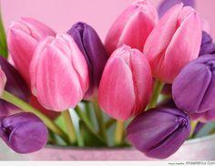 hoa-tulip-hong-tim