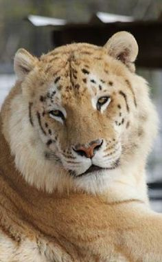Beautiful Golden Tabby Bengal Tiger at the Garold Wayne Interactive Zoological Park | Too sad. I have to speak my mind here. I don't know why this hellhole - with all the very real animal abuse taking place there - is still open.