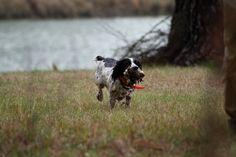 Good Dog retrieving Quail!