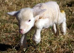 25 Fascinating Hybrid Animals You Have To See Today Lamb Sides, Feed My Lambs, Milk Replacement, What Is Cute, Musk Ox, Dwarf Goats, Pet Clinic, Baby Lamb, Bottle Feeding