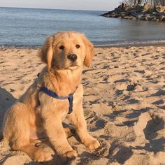 The Friendly Golden Retriever Dog Grooming Golden Retriever Cartoon, Dogs Golden Retriever, Golden Retrievers, Cute Puppies, Cute Dogs, Dogs And Puppies, Doggies, Dogs 101, Golden Retriever Training
