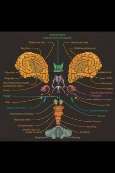 Brain function areas within lobes- great visual to show 'back-to-front' brain development as basis for easy & early acquisition of reading & writing skills. www.TheSecretStories.com