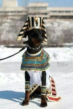 I call viper Anubis so this costume is awesome Costumes For Dogs, Best Dog Costumes, Animal Costumes, Starbucks Halloween Costume, Pet Halloween Costumes, Dog Halloween, Chien Halloween, Doberman Love, Bulldog