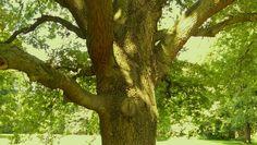 Lebensbaum #Baumpflege