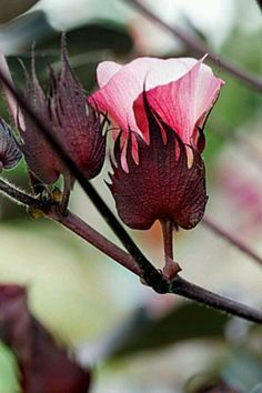 Black cotton plant & Great information about cotton.  http://www.pinterest.com/pin/47076758577443614/