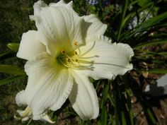 Did you know pure white daylilies are difficult to breed?  This is one of the best near-whites - Lady Elizabeth.