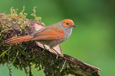 Red-faced Spinetail found in Colombia, Costa Rica, Ecuador, Panama
