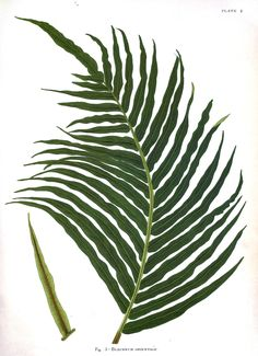Free botanical print download.. The link will take you to a beautiful print collection that you can download for free  - Indian Ferns_14