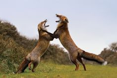 Two female foxes rearing up on their hind legs, ears flat and mouth agape.  Voilà...the Fox Trot