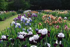 Pleasants Valley Iris Farm is a family-owned farm that is open to visitors each Spring during iris bloom season.