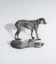 William Wegman Weimaraner abstract illusion reflection.