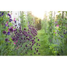 I have just purchased Allium sphaerocephalon from Sarah Raven - https://www.sarahraven.com/flowers/bulbs/alliums/allium_sphaerocephalon.htm