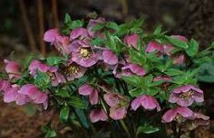 Image result for hellebore planting combinations