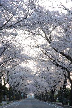 Cherry Blossom(豊田高専の桜トンネル)