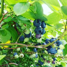 We have plenty of blueberries for you to come and pick. It will make your holiday interesting and fun!✌️😁#blueberryfarm  #pyo  #pickyourown  #blueberry  #holiday  #kids