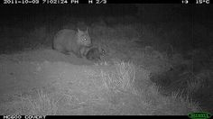 Northern Hairy-nosed wombat joey