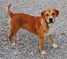 Thor is an adoptable Labrador Retriever Dog in Hopkinton, MA. If you need some love in your life, look no further than Thor, a handsome 1-2 year old male Lab mix. This gorgeous Southern boy is ready t...