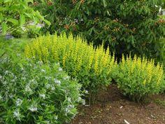 yellow baptisia flower april