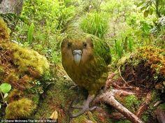 O kakapo (Strigops habroptila) é um grande papagaio nativa da Nova Zelândia extremamente ameaçado de extinção. Hoje, existem apenas 126 aves da espécie na natureza. Ele é classificado como criticamente em perigo de extinção, o grau mais grave antes da extinção. São 78 adultos em idade reprodutiva que são ameaçados pela ocupação humana que introduziu novos predadores e também diminuiu a quantidade e tipo de vegetação local que serve de alimento para a ave