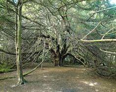 The Ormiston Yew