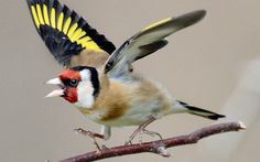 (via D288725 European Goldfinch | Flickr - Photo Sharing!)