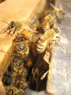 :: Permaculture Pathways ::: Honey - from cuts to cuttings...    Other uses for honey