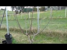Prune and train Cherry tree to open vase shape