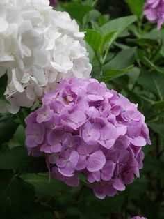"""kerovous: """" Own picture : Hydrangea """" Hydrangea Garden, Green Hydrangea, Hydrangeas, Flower Phone Wallpaper, Garden Care, Plant Care, Flower Prints, Planting Flowers, Beautiful Flowers"""