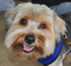 Baylor  is a happy 15 pound, 2 yr old yorkie mix whose happiness is contagious. Baylor is playful, loves squeaky toys and is working on his house training. Baylor gets along with other dogs, cats and all humans.  Baylor came to us with some severe...