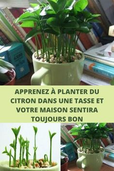 Learn how to plant lemon in a cup and your home will always smell good … - Modern Garden Trellis, Garden Pots, Comment Planter, Green Life, Smell Good, Permaculture, Garden Projects, Agriculture, Gardening Tips
