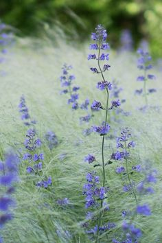 Nepeta and Stipa . Prairie Garden, Meadow Garden, Dream Garden, Stipa, Design Jardin, Garden Drawing, Purple Garden, Garden Types, Ornamental Grasses