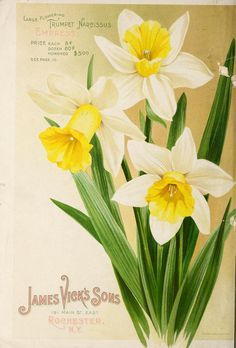 catalogue bulbs, plants and seeds. - Biodiversity Heritage Library- Vick's catalogue bulbs, plants and seeds. Watercolor Cards, Watercolor Flowers, Floral Rosa, Etiquette Vintage, Vintage Seed Packets, Seed Packaging, Art Vintage, Seed Catalogs, Plant Drawing