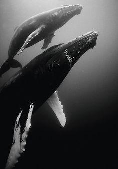 Humpback whale mommy & calf by Carlos Villoch Save The Whales, Water Animals, Humpback Whale, Whale Sharks, Ocean Creatures, Jolie Photo, Sea World, Ocean Life, Marine Life