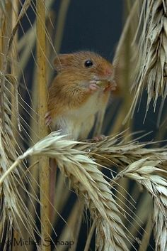 A cute little Mouse comes to the Wheatfield, not a Farmers best friend ;-)