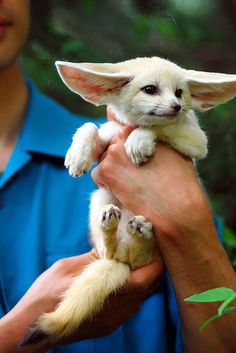 Baby Fennec fox. These actually make great pets where they are legal. Beautiful animal!