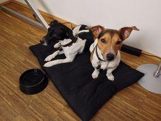 private practice doggies #jackrussel #jackrussellterrier