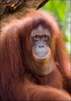 Though, it is a fact that the rainforest is home to 40 - 75 percent of the total organisms worldwide, many animal species are listed in the IUCN Red List. Here are some rainforest animals that are endangered. Smiling Animals, Happy Animals, Cute Animals, Primates, Mammals, Monkey See Monkey Do, Ape Monkey, Endangered Rainforest Animals, Orangutan Sanctuary