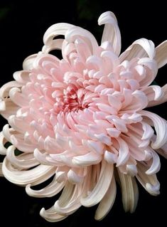 In Bloom: Japanese Chrysanthemum Japanese Chrysanthemum, Chrysanthemum Flower, Japanese Flowers, Exotic Flowers, My Flower, Pink Flowers, Beautiful Flowers, Beautiful Gorgeous, Tropical Flowers