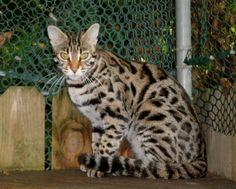 Bengal Cat Queens | Bengal Cat Breeders | Brown Spotted Kittens
