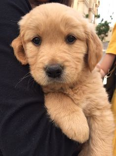 "Obtain great recommendations on ""golden retriever puppies"". They are on call for you on our site. Cute Little Animals, Cute Funny Animals, Cute Animal Pictures, Dog Pictures, Cute Dogs And Puppies, Doggies, Golden Puppy, Retriever Puppy, Puppy Breeds"