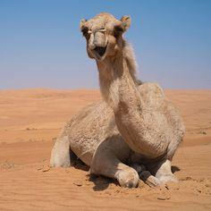 Camel Milk Facts: Health #theultimatesuperfood #superfood #thehealthydairy #dromedairy #dromedairynaturals #dairyalternative #guthealth #paleo #paleodiet #whole30 #funfact #camel #camels #camelmilk #fast #sale #freeshipping #healthy #cassio #cassioimports #mondaymotivation #cool #happy #happyhumpday #coolfacts #wow #dairy