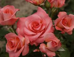 Rejoice (Palatine Roses)
