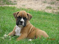 boxer dog wallpapers wallpaper cave best games wallpapers