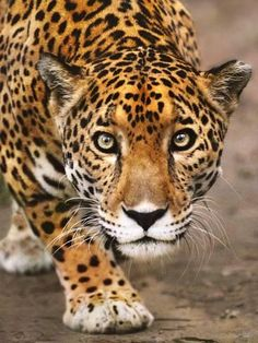 Bengal Cats Photographic Print: Jaguar Stalking, Panthera Onca, Belize Poster by Frans Lanting : - Nature Animals, Animals And Pets, Cute Animals, Art Nature, Angry Animals, Nature Images, Wild Animals, Beautiful Cats, Animals Beautiful