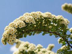 Bougainvillea, Herbs, Garden, Plants, Shape, Garten, Lawn And Garden, Herb, Gardens