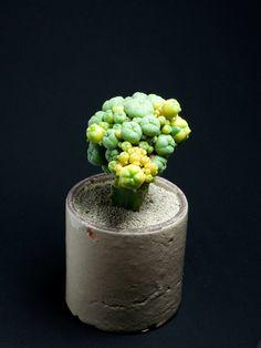 サボテン:仔吹き鳥羽玉錦 Lophophora williamsii f. variegata