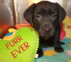 Available for adoption. 7 week old Lab mix named Eric. www.jfcountypets.com