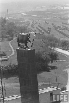 On October 25,1954 Life magazine wrote about the installation of the Hereford Sculpture in Kansas City. A trailer truck rode through Kansas City, Mo. last week bearing a bull destined to achieve great heights. The bull, a Hereford from New Jersey, stands 12 feet high, weighs 5,550 pounds and has plastic flesh atop steel bones. It was designed to stand atop a 90-foot pylon in front of American Hereford Association headquarters near the stockyards. First the association mock-solemnly debated…
