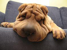 Le #Shar-Peï : chien fidèle - Webzine Animaux de compagnie